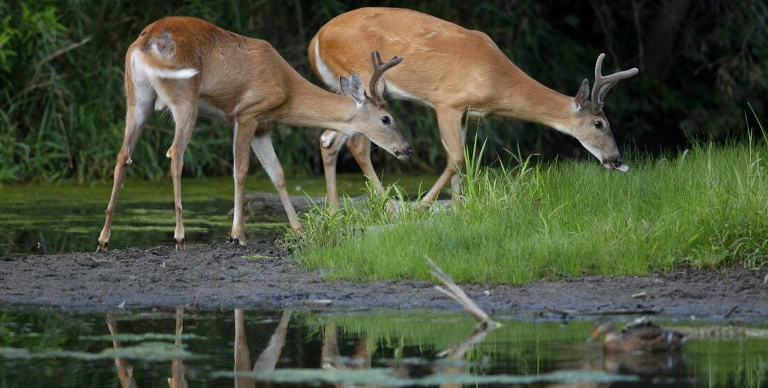 Why do deer drink so much?
